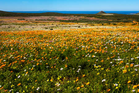 Landscape of flowers and sea in West Coast National Park