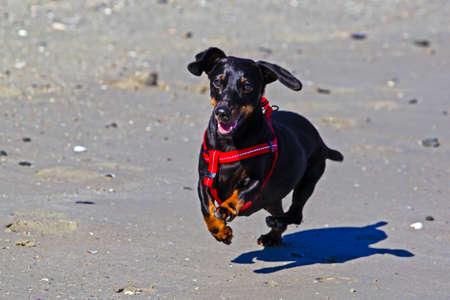 Black, shorthaired dachshund running on beach Stock Photo - 108891347
