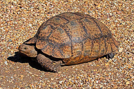 Adult Leopard Tortoise on gravel