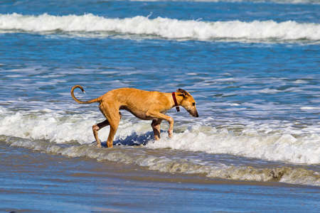 Young crossbreed dog gingerly walking in sea