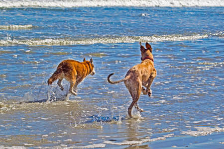 Two dogs running through waves on beach