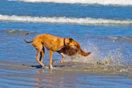 Young cross greyhound dog getting splashed