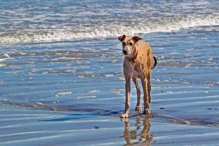 Alert tall dog on beach with red collar Stock Photo