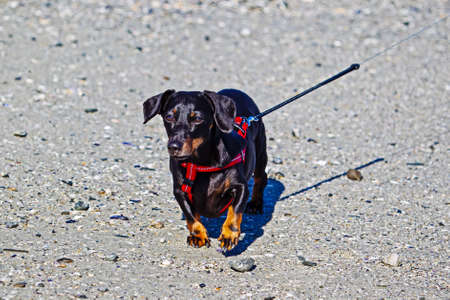 Black dachshund on lead at beach