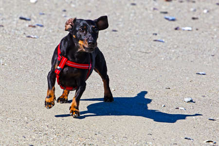 Black dachshund running loose on beach Stock Photo