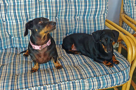 Two black dachshunds on sofa