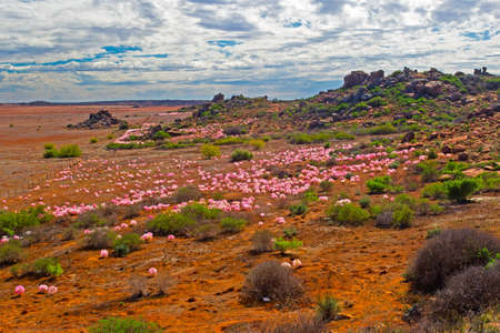 Landscape of red and pink Candelabra Lilies,  rocky hills, and cloudy sky near Nieuwoudtville, in Northern Cape