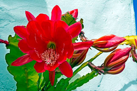 Large red flower on Red Orchid Cactus