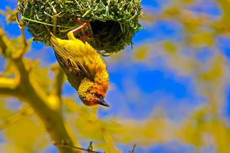 Male Cape Weaver hanging from nest