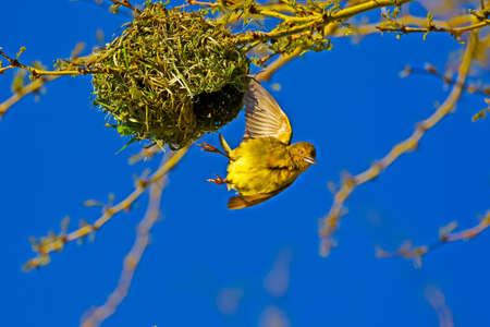 Macho joven Cape Weaver volando desde el nido