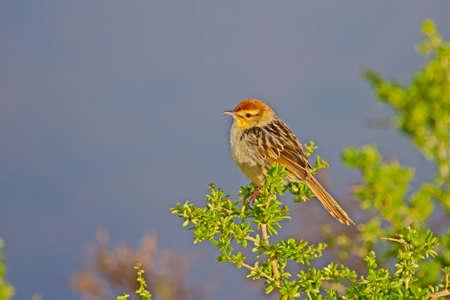 Small cisticola bird perched on bush Stock Photo