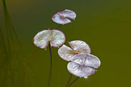 Water lily leaves in pond