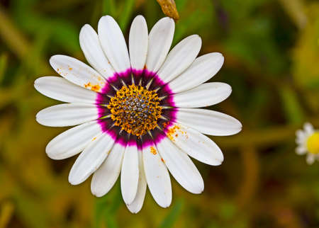 Top view of white and purple daisy wildflower Stock Photo