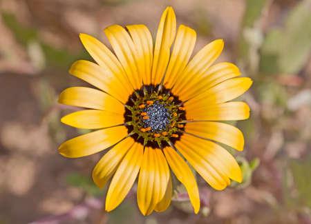 Single yellow daisy wildflower