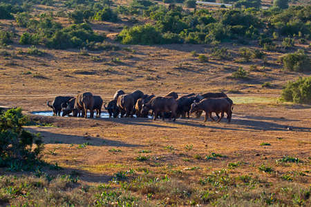 Herd of African Buffalo at waterhole in early morning at Addo Elephant Park, South Africa Stock Photo
