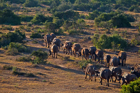 Column of African Buffalo walking away from water hole at Addo Elephant Park, South Africa