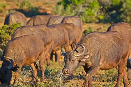 African Buffalo cow