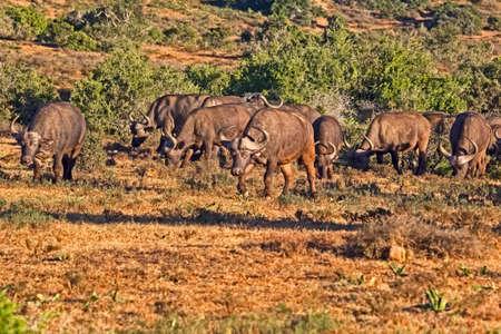 Herd of African Buffalo grazing