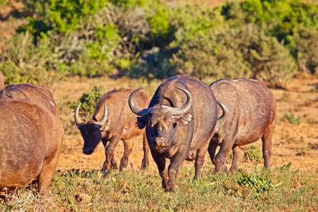 Young African Buffalo bull walking towards camera