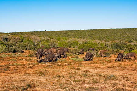 Small herd of African Buffalo grazing in open area in Addo Elephant Park, South Africa Stock Photo