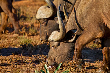 Close-up of African Buffalo grazing in Addo Elephant Park, South Africa Stock Photo