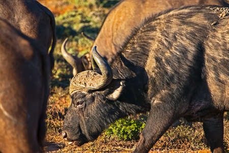 Old African Buffalo bull walking with herd in Addo Elephant Park, South Africa