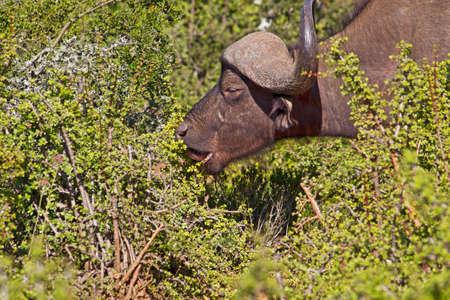 African Buffalo bull eating succulent Spekboom bush in Addo Elephant Park, South Africa