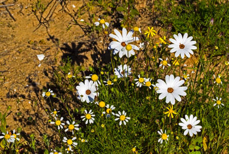 White and Yellow daisy wildflowers in springtime in Western Cape, South Africa Stock Photo