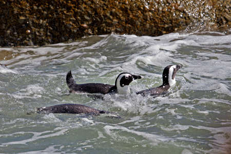 Three Jackass Penguins swimming at Boulders Beach reserve, Simons Town, South Africa Stock Photo