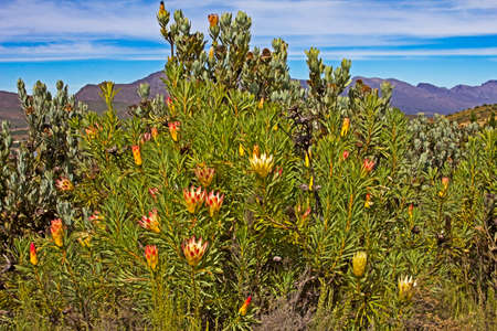 Protea bush with flowers