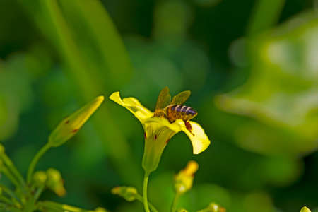 African bee collecting pollen from yellow spring wildflower