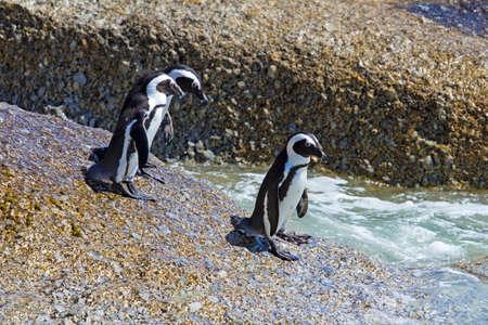 Three Jackass Penguins entering water
