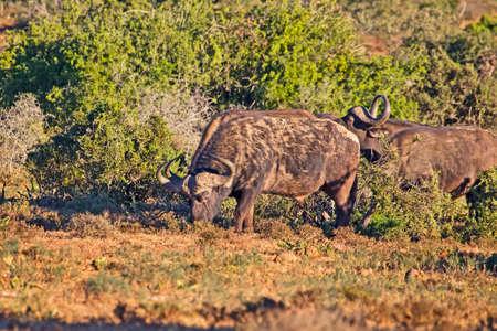 African Buffalo bull grazing