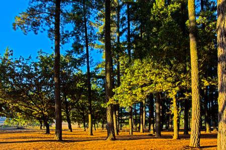 Tall conifer trees