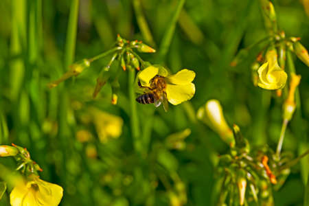 African bee clinging to yellow spring wildflower Stock Photo