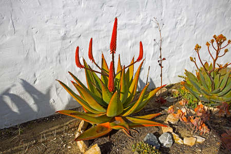 Green Cape Aloe with 4 red flowers Stock Photo