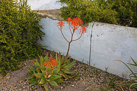 Two Soap Aloes with red flowers Stock Photo