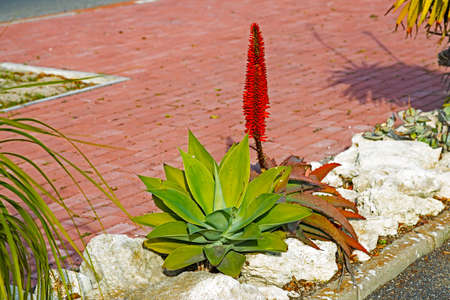 Two Aloes planted side by side
