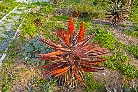 Aloe with Red leaves and red flowers