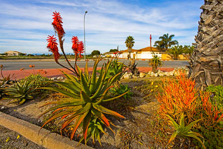 Large Red and green Cape Aloe with red flowers