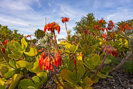 Bright red flowers on pigs ear succulent plant