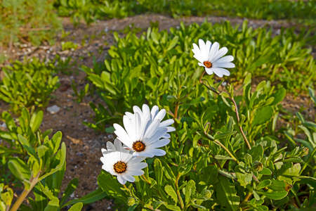Early white spring daisy wildflowers in Western Cape, South Africa