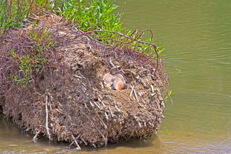 Egyptian Goose in nest on small island in river