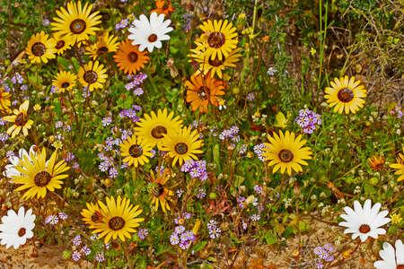 Yellow, white, orange and purple wildflowers 版權商用圖片