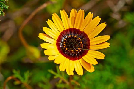 Vivid Yellow daisy spring wildflower