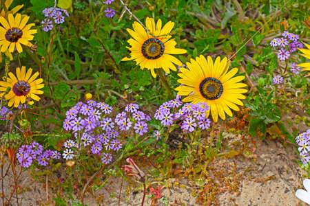 Purple drumstick and yellow daisy wildflowers 版權商用圖片