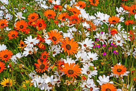 Orange, purple and white daisy spring wildflowers