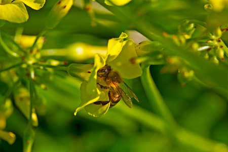 Melittid bee sucking pollen from yellow plant