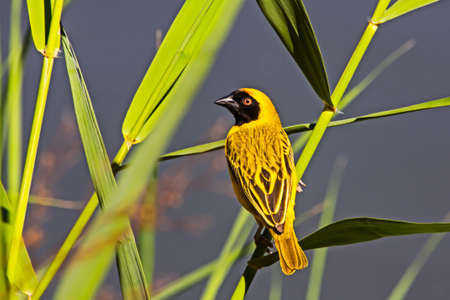 Male Southern Masked Weaver bird perched on reeds along river bank in Northern Cape, South Africa Stok Fotoğraf