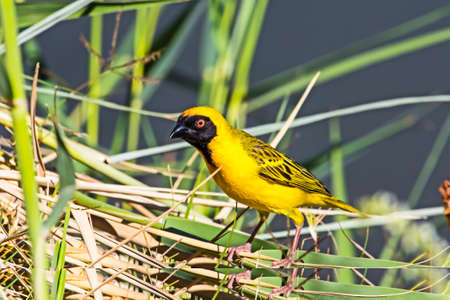 Male Southern Masked Weaver bird on river bank in Northern Cape, South Africa